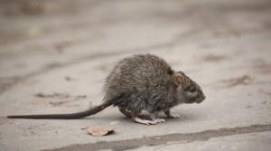 mice-canton-termite-pest-control