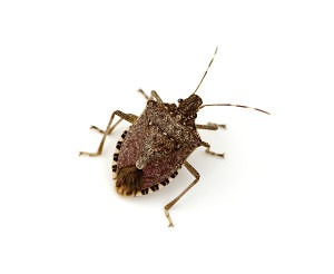 Brown Marmorated Stink Bug (Halyomorpha halys) on white background