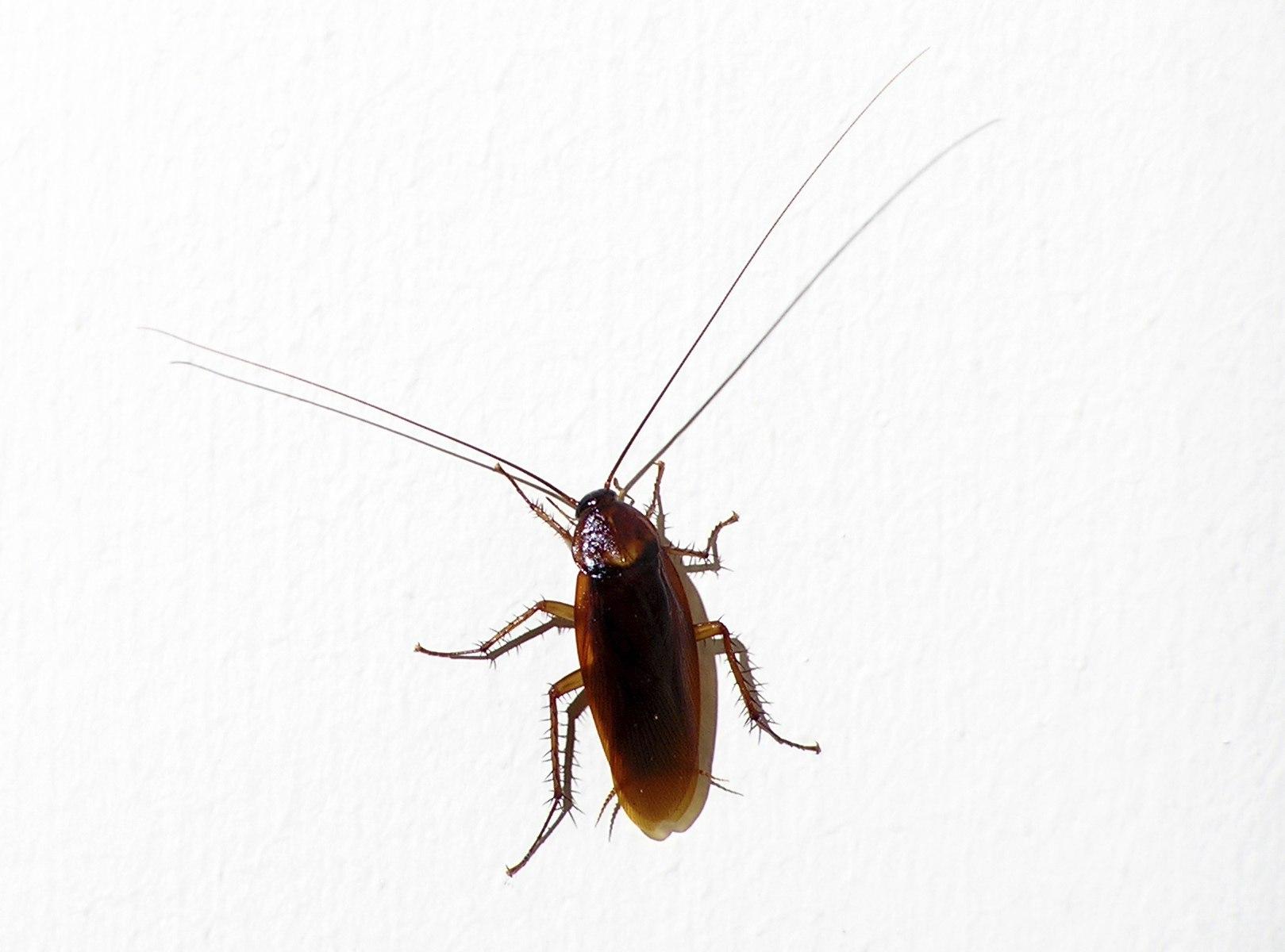 Smokey Brown Roach in North Georgia  sc 1 st  Canton Termite And Pest Control & Bugs | Canton Georgia Termite u0026 Pest Control
