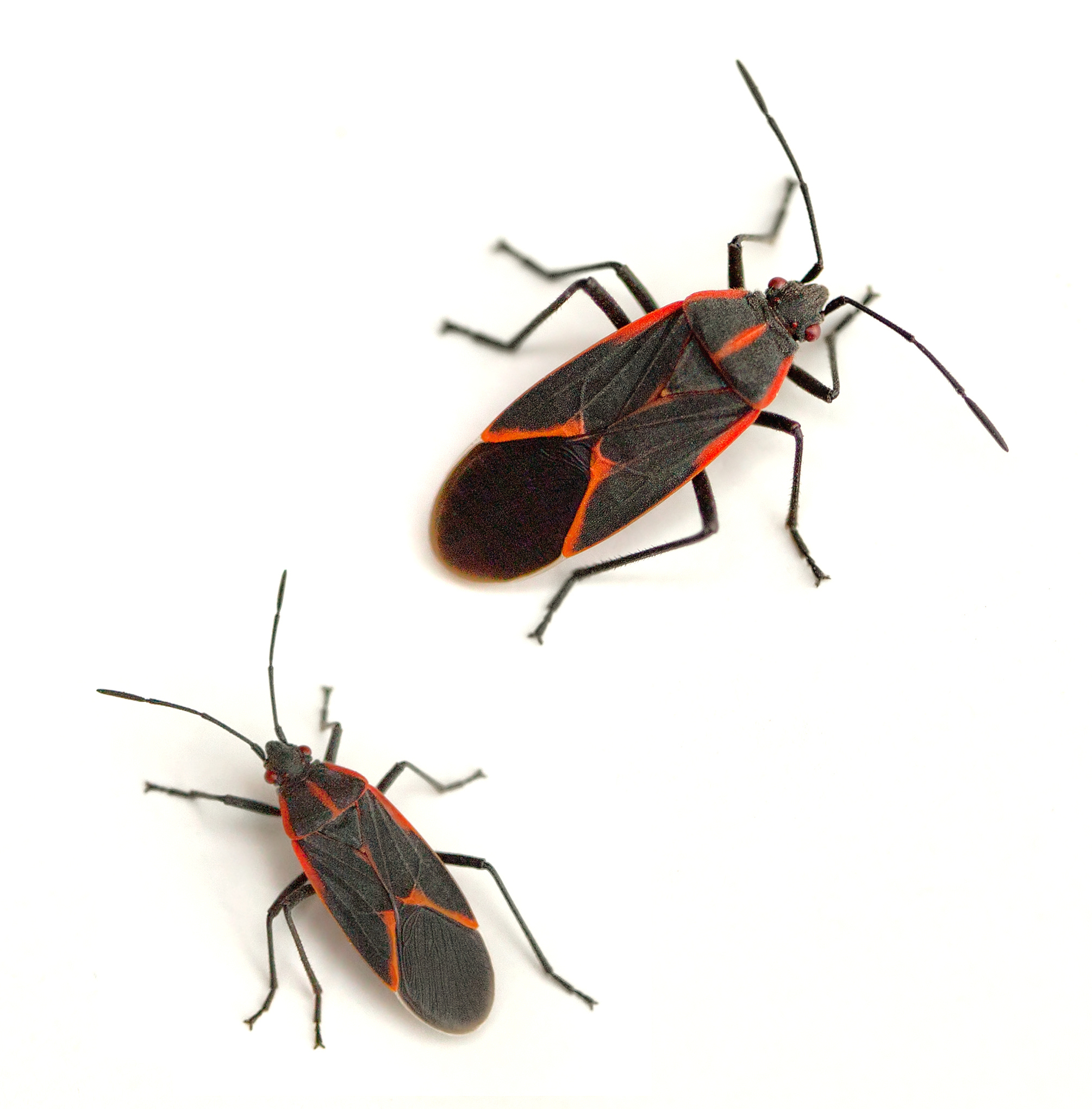 Eastern boxelder bug  Boisea trivittata  on a white background. Boxelder Bugs  Red and black bugs Canton Termite   Pest Control