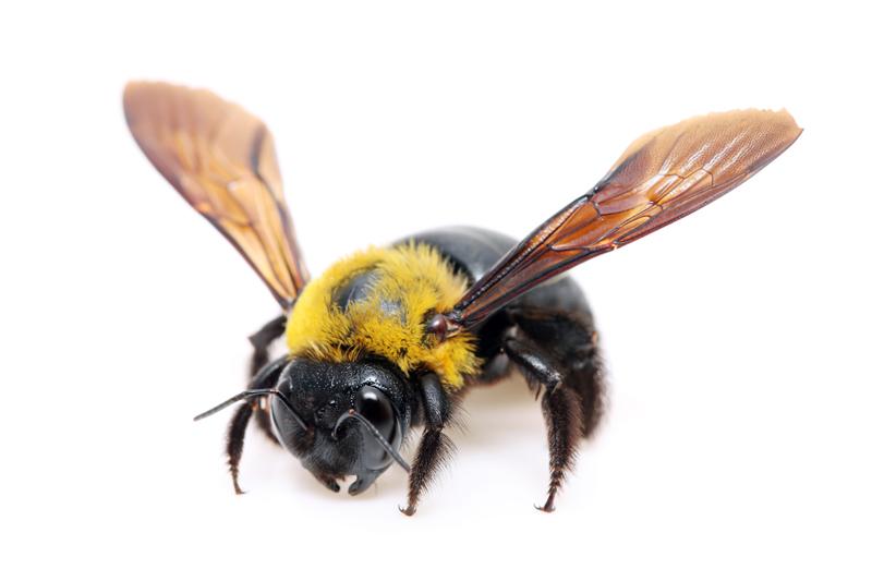Female Carpenter Bee She Has A All Black Head