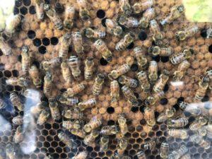 honey-bees-canton-termite-pest-control