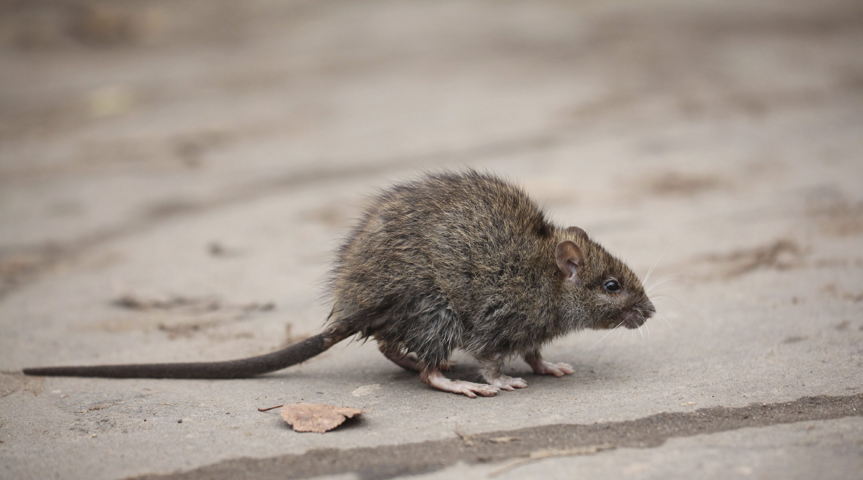 Mice In My House Canton Georgia Termite Pest Control