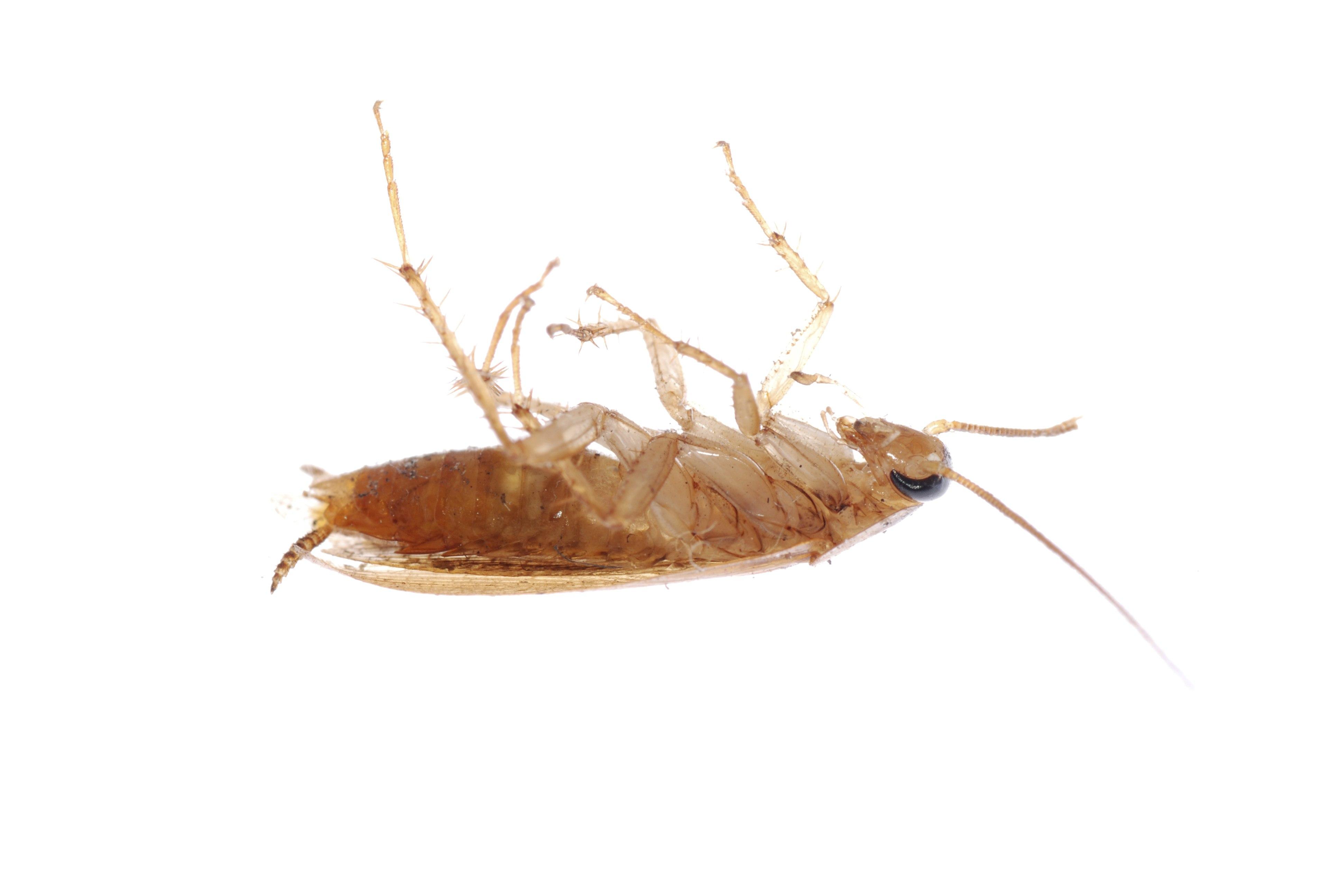 Will ivermectin kill demodex mites