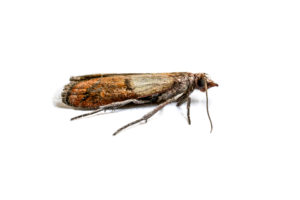 indian-meal-moths-canton-termite-pest-control
